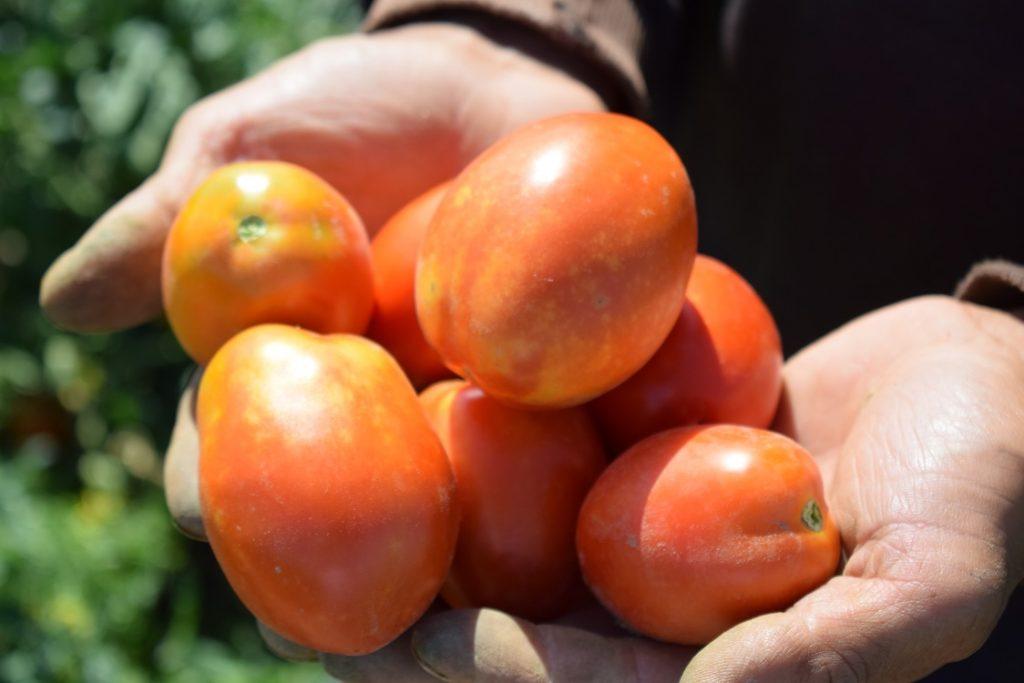pomidory ogorod
