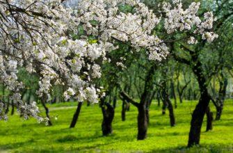 depositphotos 2432919 stock photo flowering cherries trees garden