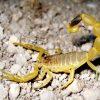 zheltyj tolstohvostyj skorpion